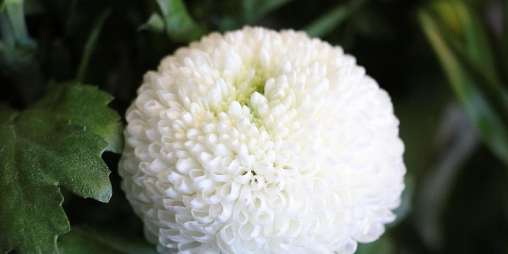 PomPom-Chrysanthemum