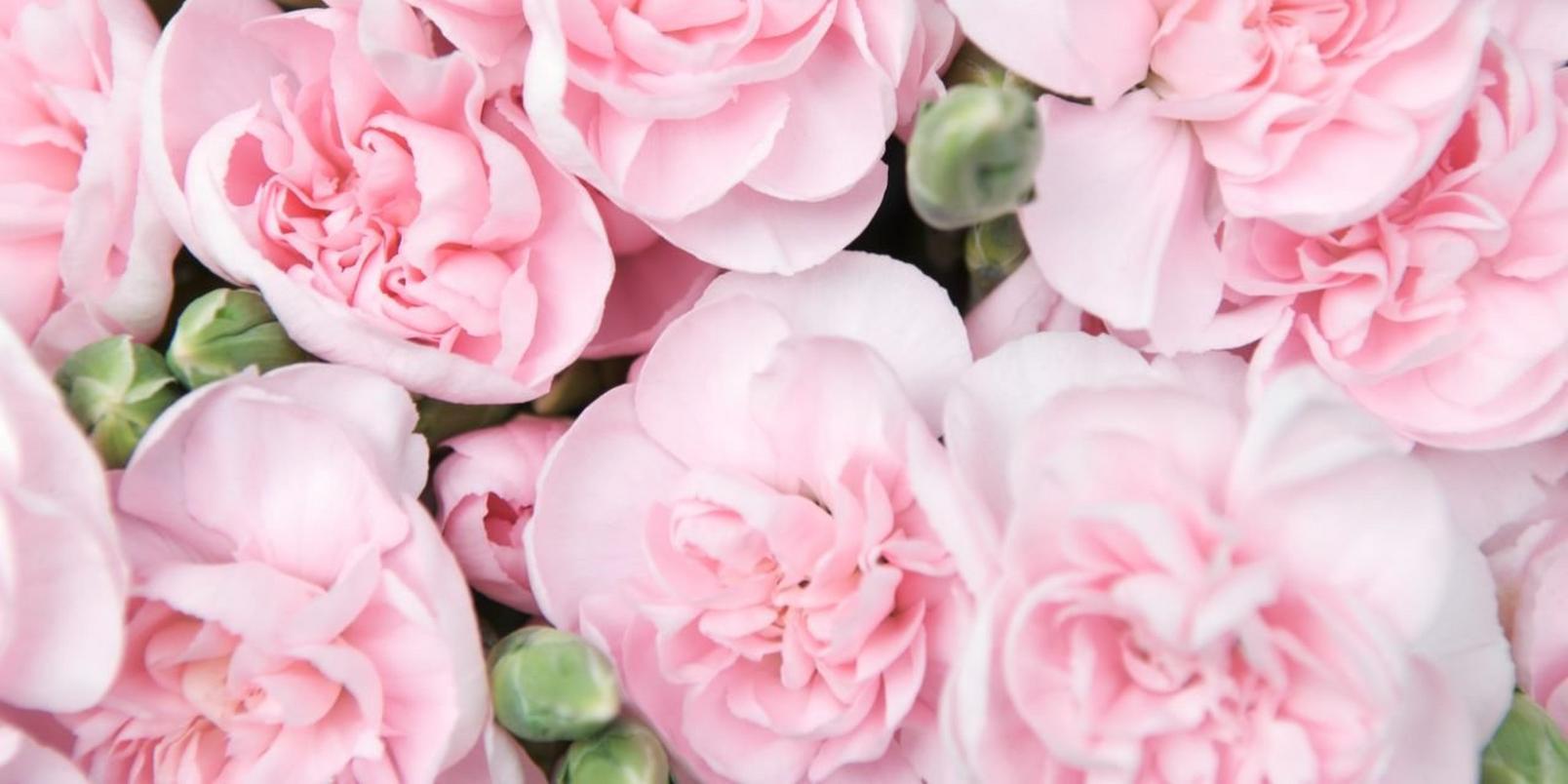 Spray Carnations2