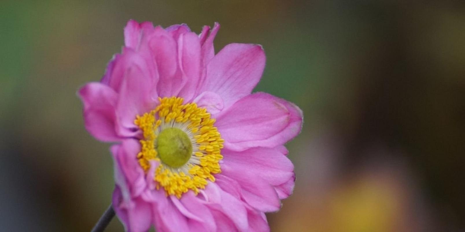 anemones2