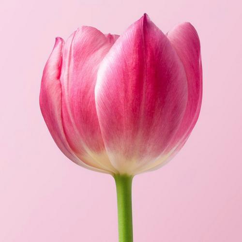 bowl-shape-tulip