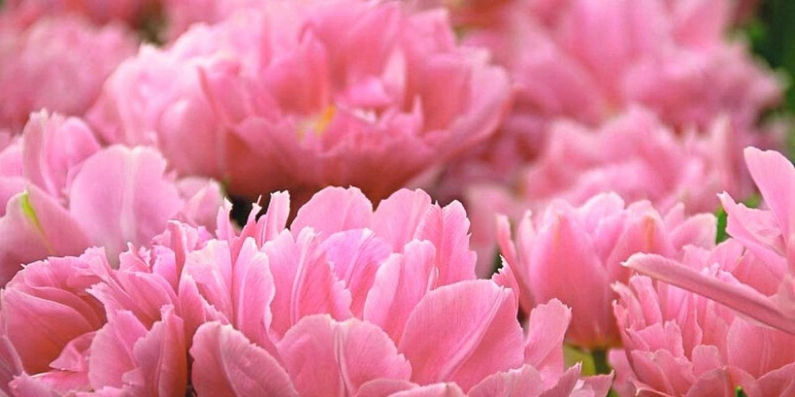 double_tulips