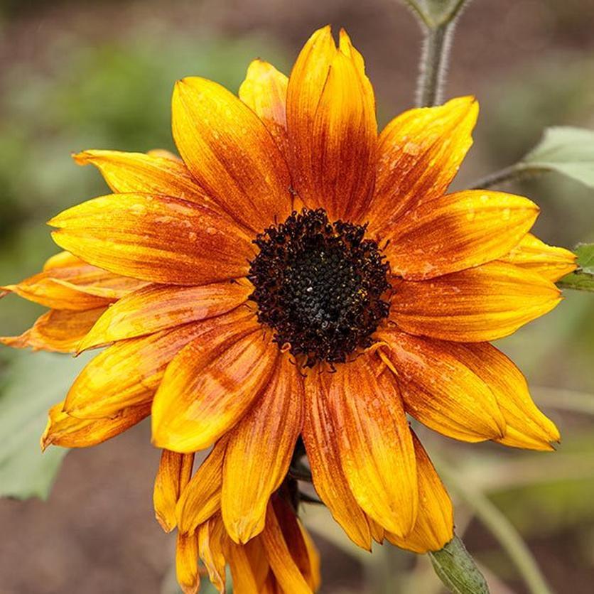 little-becka-ultimate-sunflower-guide