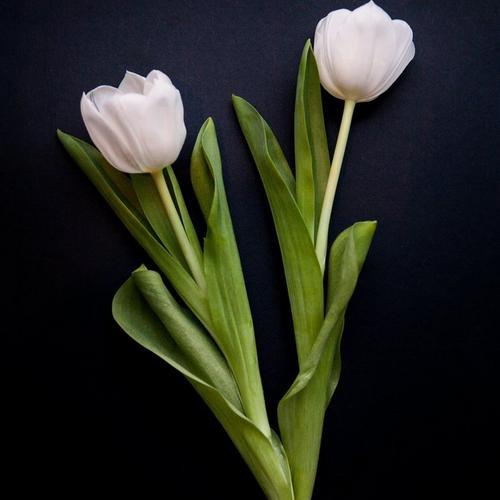 single-tulip