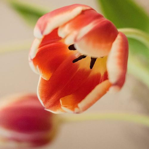 tepalled-tulip