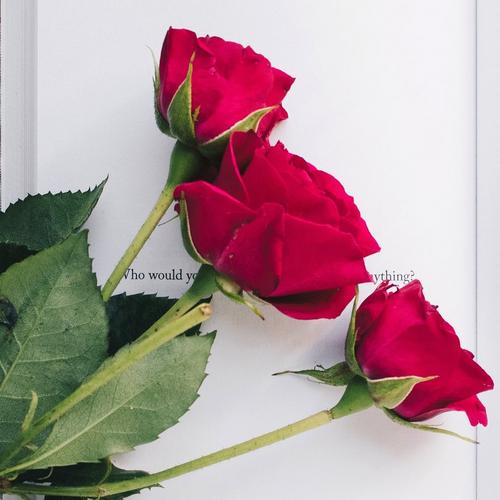 three-red-roses